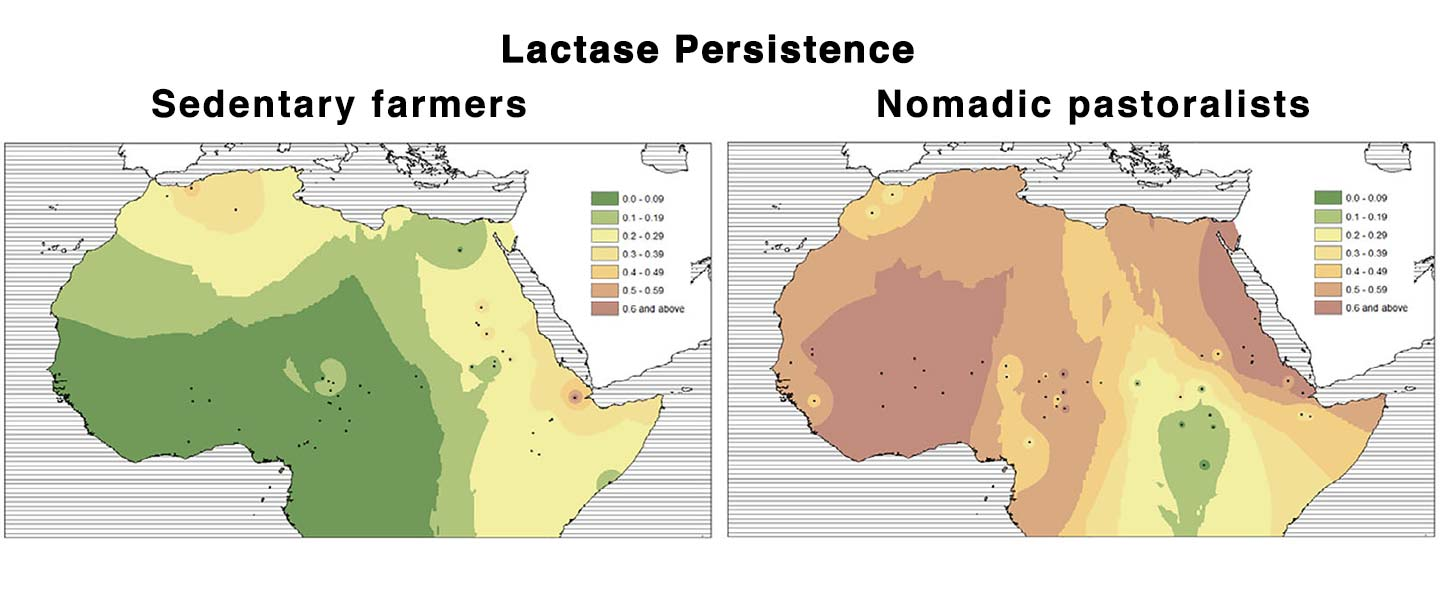 """Neolithic spread of """"Eurasian"""" Lactase Persistence among Saharan pastoralists"""