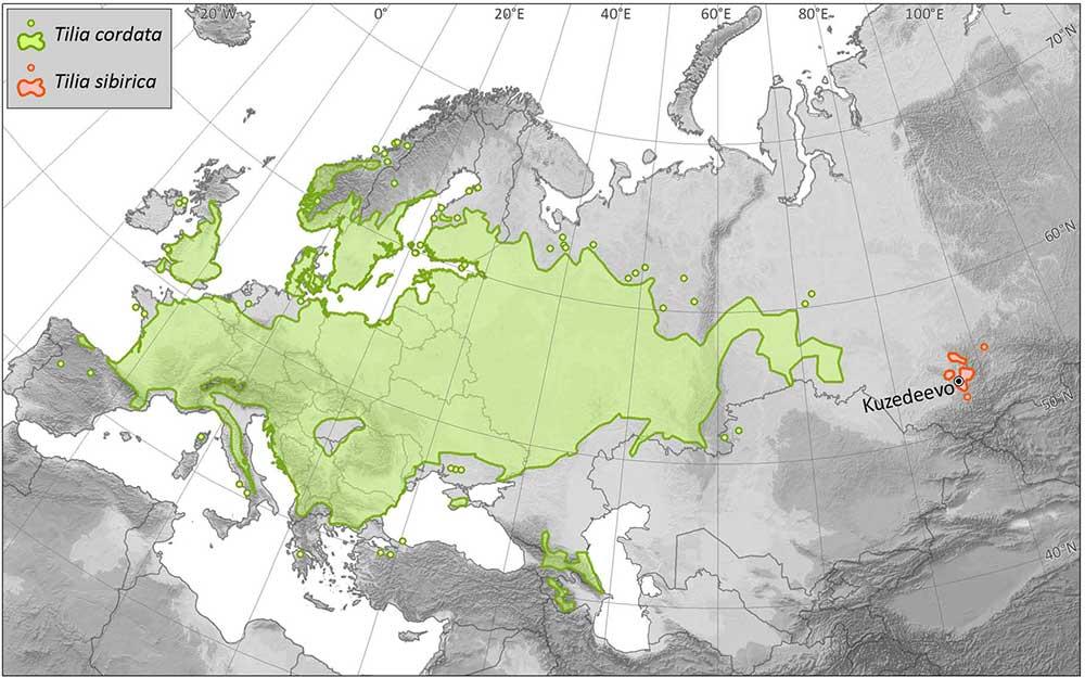 linden-tilia-cordata-tilia-sibirica