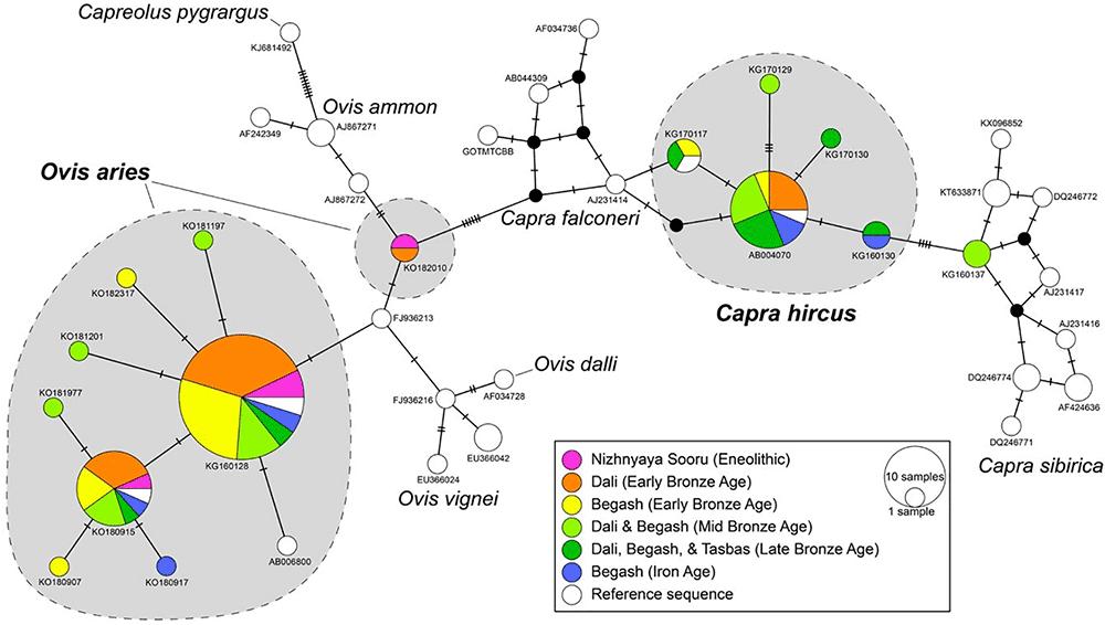 sheep-domesticate-asian-mountain-corridor-altai