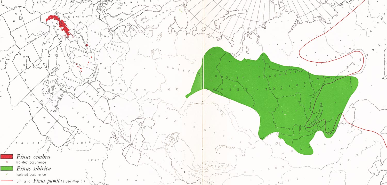 pinus-sibirica-cembra